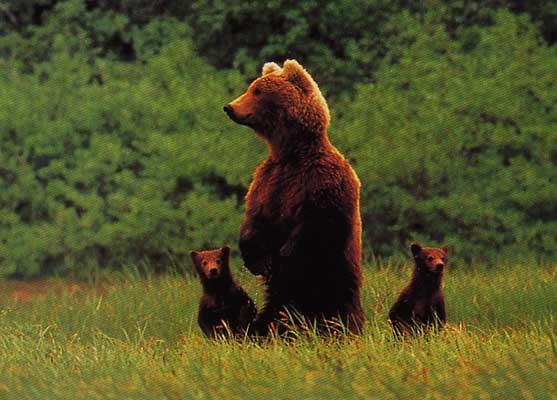 L'ONCFS met en évidence la nécessité de lâcher des ours
